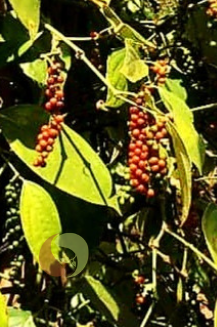 Pfefferpflanzen-rot