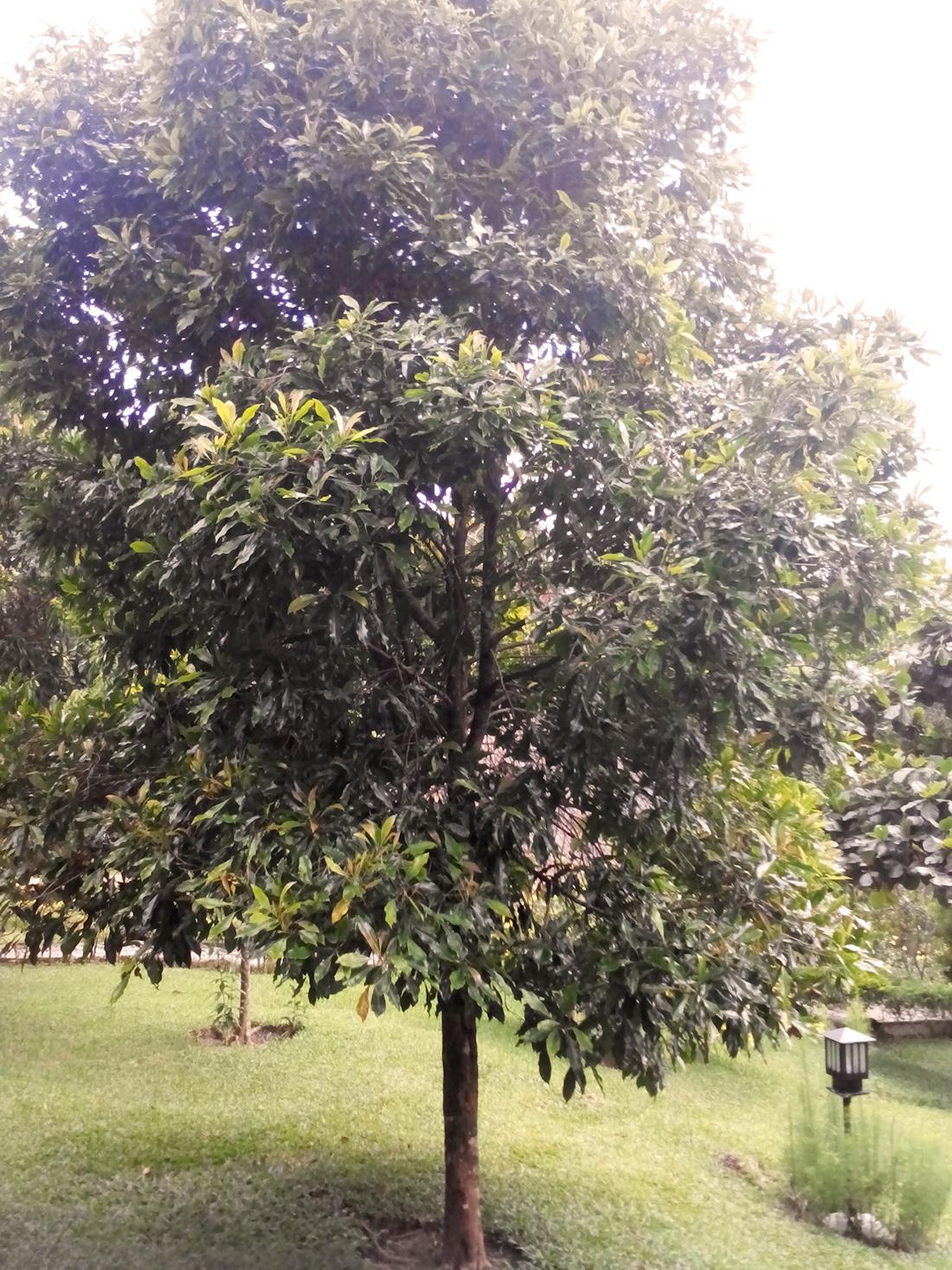 gewuerzbaum-masawi-entdeckungsreisen
