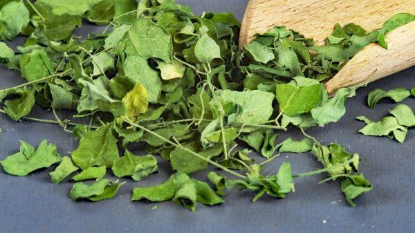 Moringa Oleifera Blattschnitt
