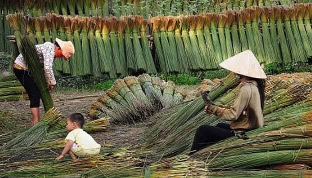 Bambus-Ernte