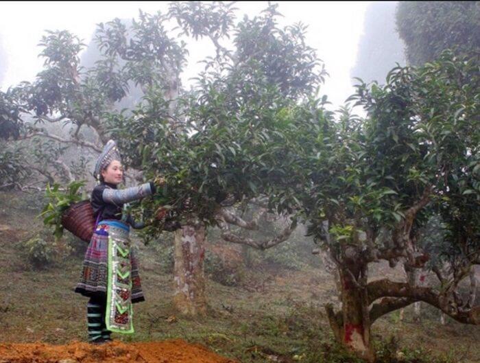 Frau-erntet-Tee-in-Vietnam