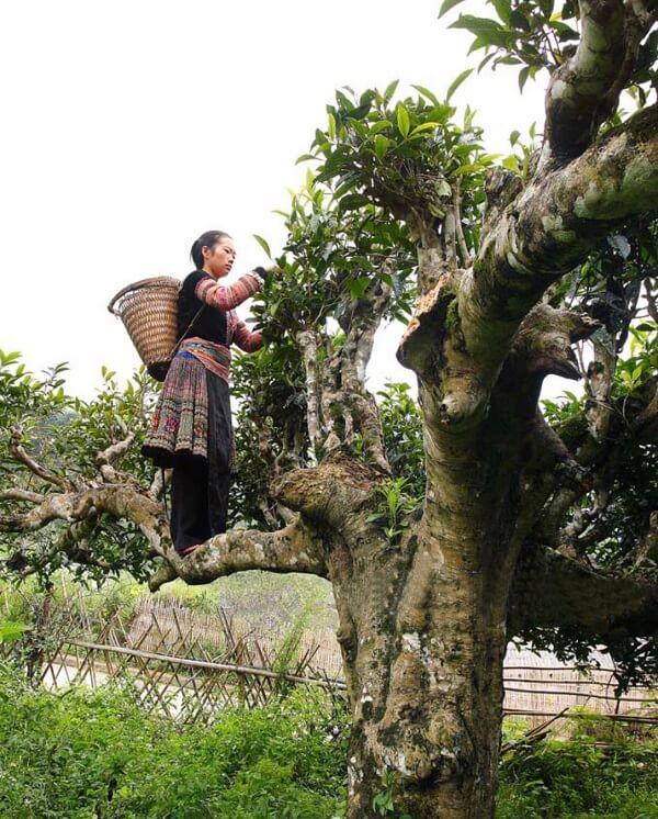 Vietnamesiche-Frau-beim-Pfl-cken-von-Tee