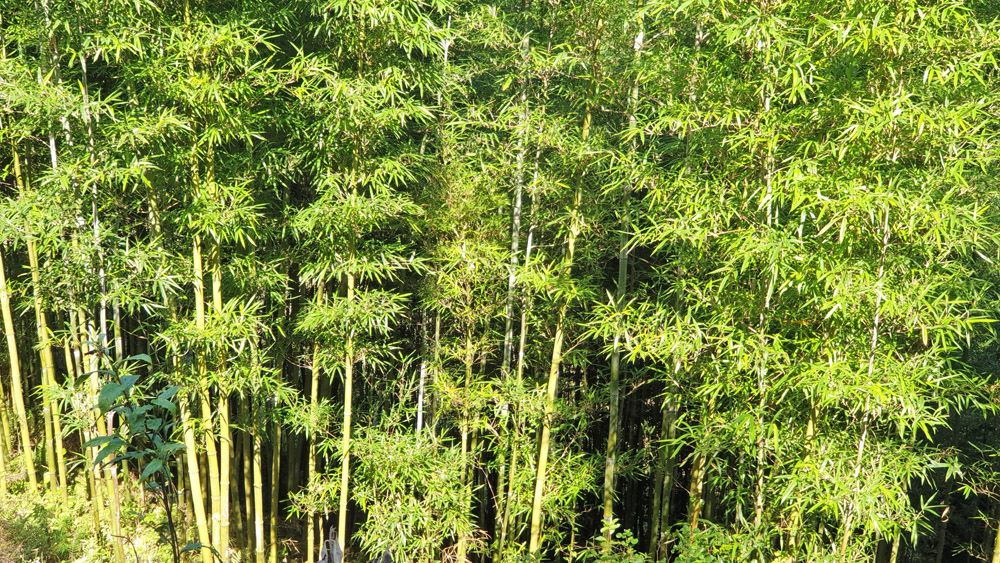 Bambuswald3